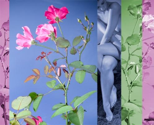 pink-bang-flower-chas-sm.jpg